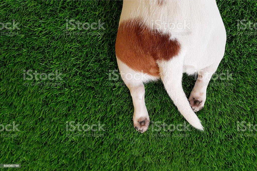 Tail, paws a cute dog in green lawn. stock photo