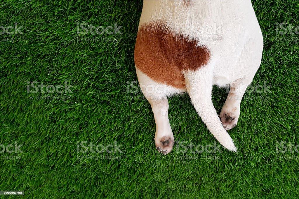 La cola, las patas de un perro lindo en el verde césped. - foto de stock