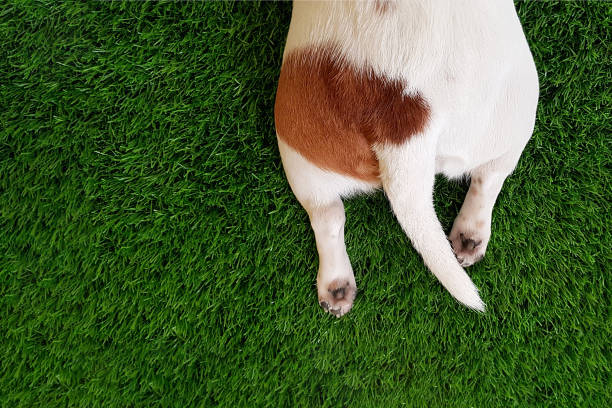 tail, paws a cute dog in green lawn. - tail stock photos and pictures