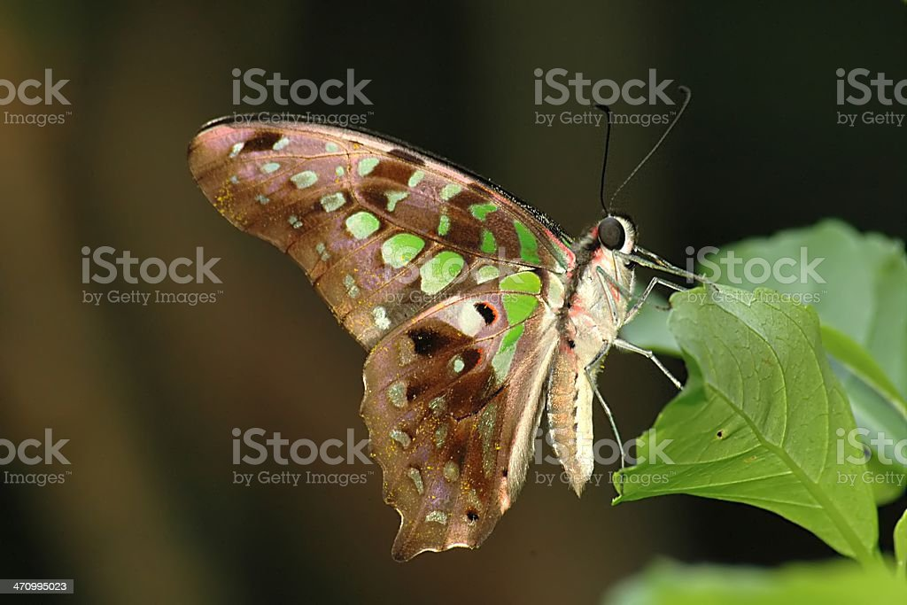 Tailed Green Jay - Graphium agamemnon (Singapore Butterfly) royalty-free stock photo