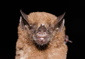 istock Tailed Tailless Bat 1212609335