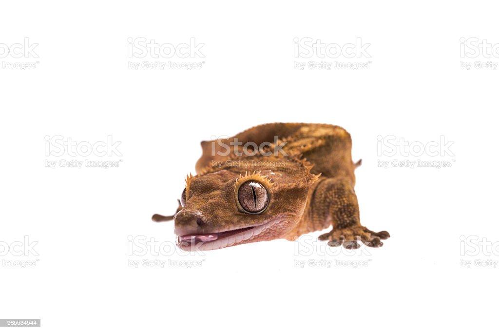 Tailles crested gecko sobre fondo blanco aislada - foto de stock