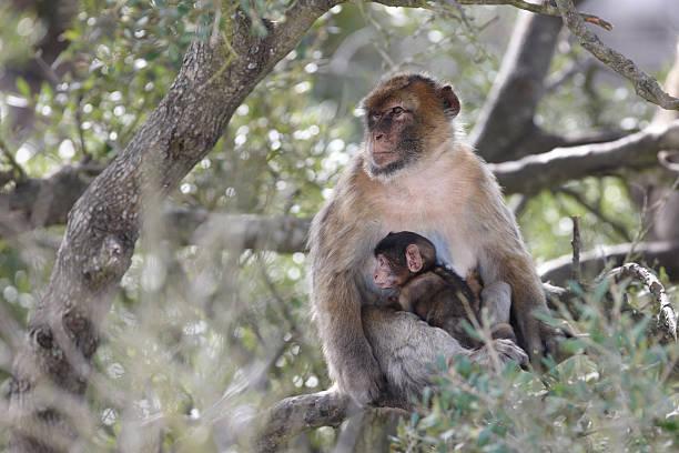 tailless singe magot avec bébé, gibraltar - singe magot photos et images de collection