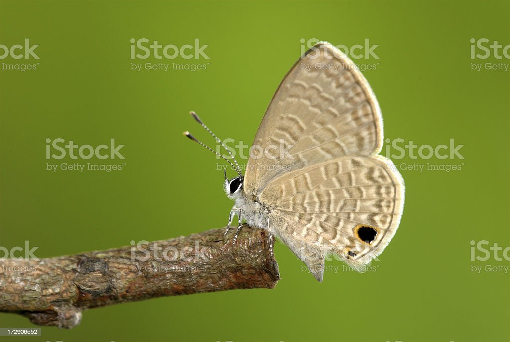 Tailless Line Blue (Prosotas dubiosa) resting on a twig royalty-free stock photo