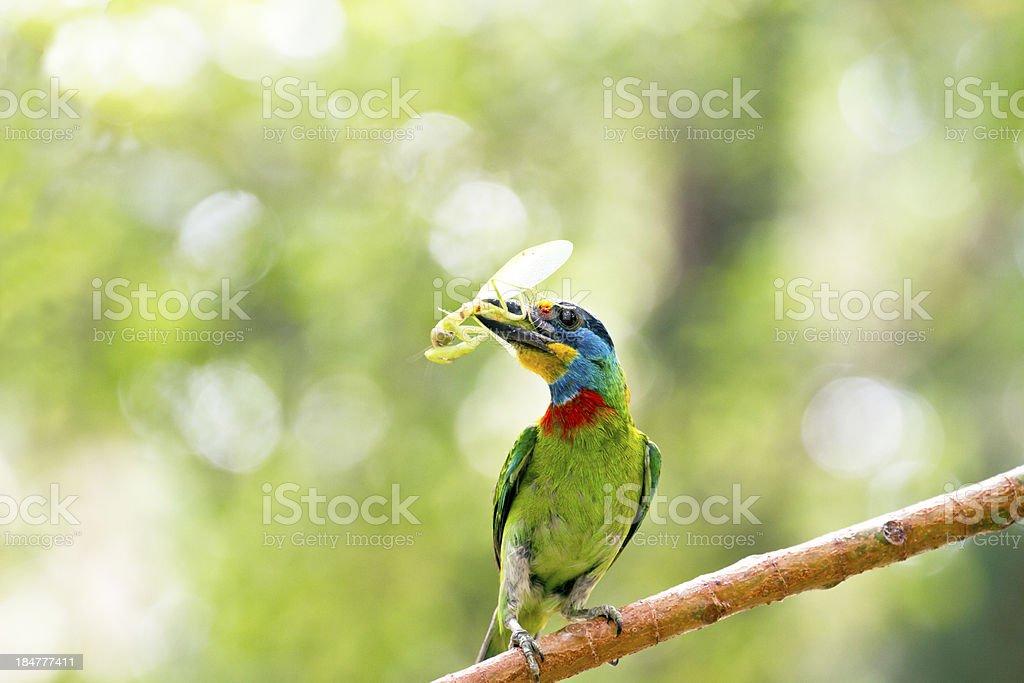 Taiwan Barbet,Megalaima nuchalis stock photo