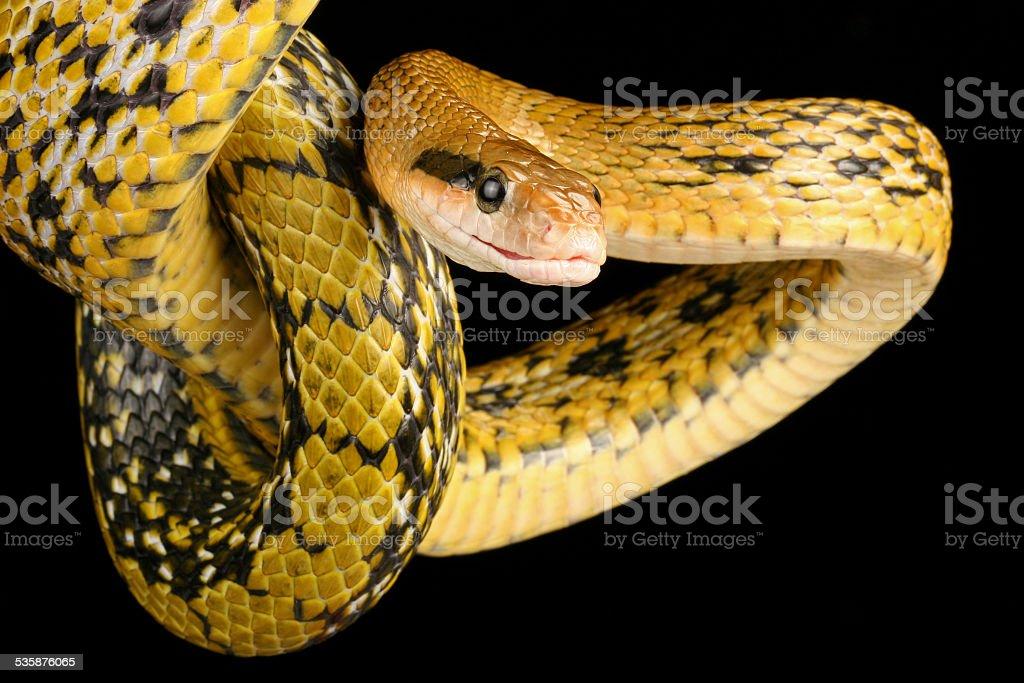 Taiwan Beauty Snake. stock photo