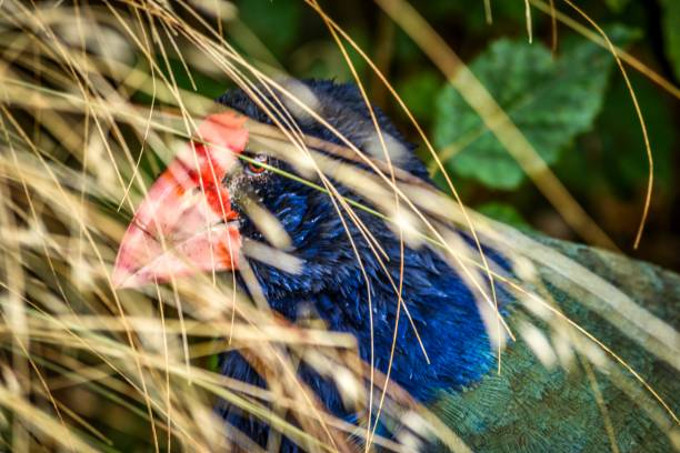 Takahe birds in wild South Island, New Zealand stock photo