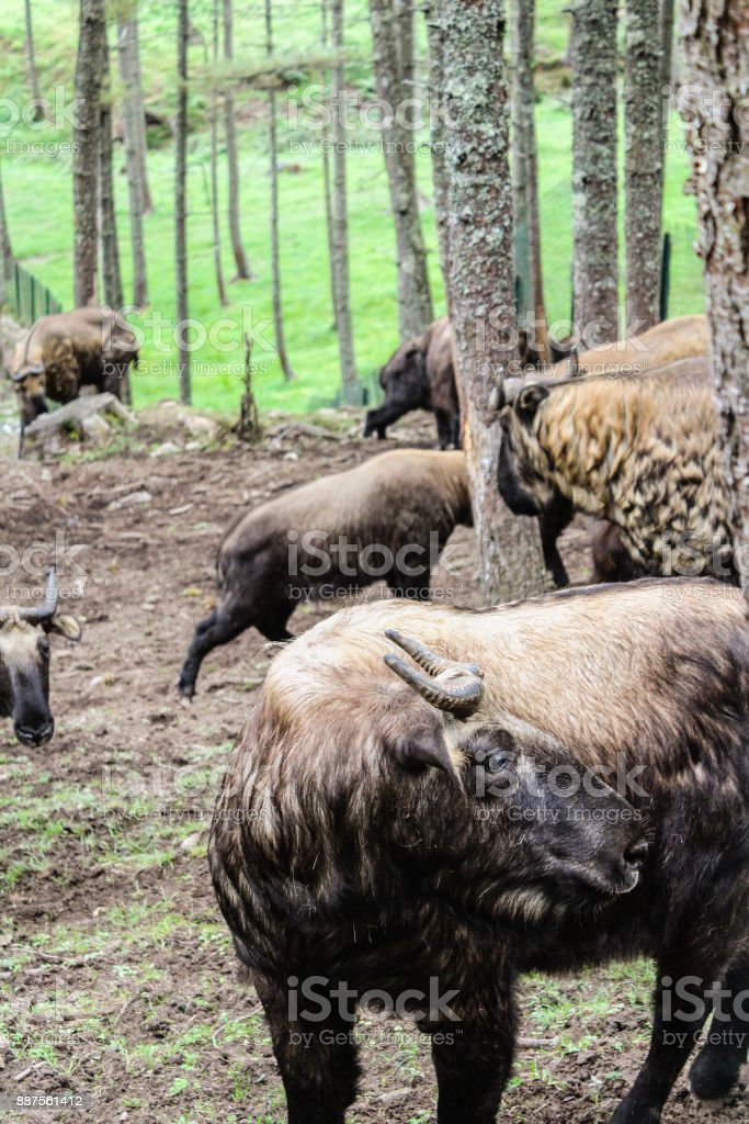 Takin, the national animal of Bhutan stock photo