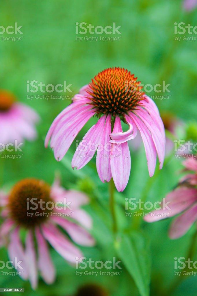 Taking a bow -Neon Coneflower stock photo
