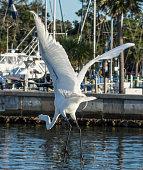 White egret at a marina in Ft. Meyers, Florida. Gulf Coast states.