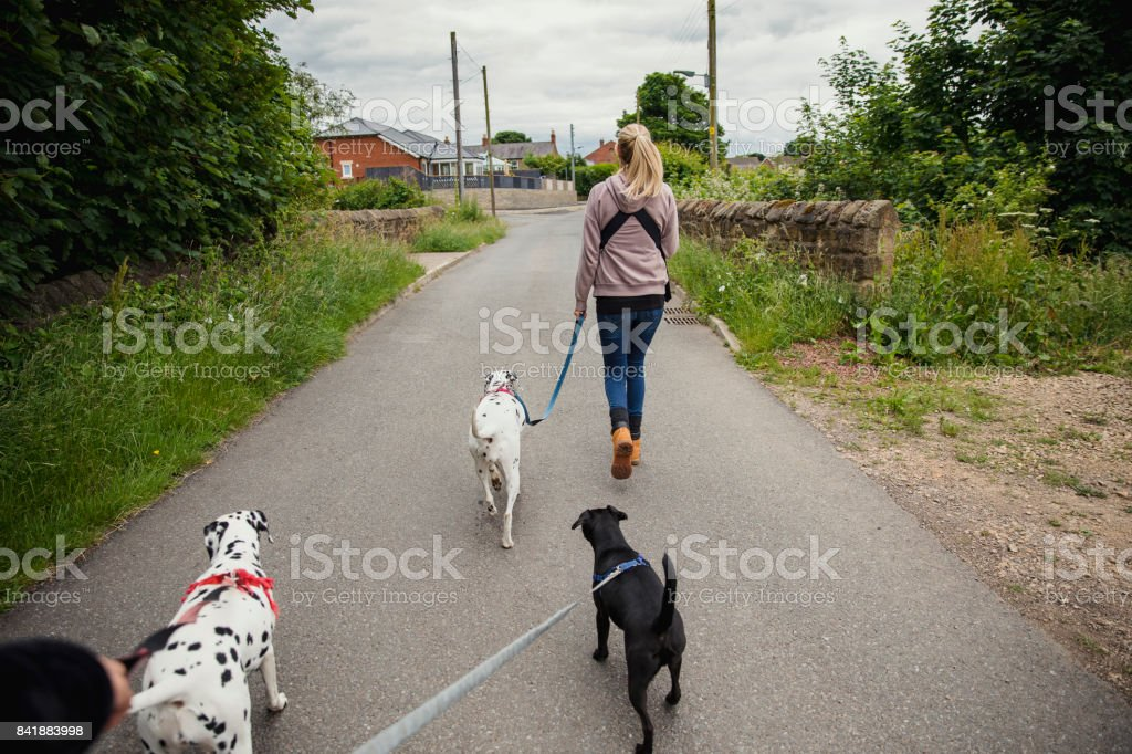 Taking her Dogs for a Walk stock photo
