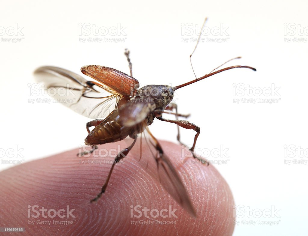 'Taking off' Beetle royalty-free stock photo