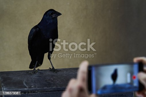 Taking photo of Rook bird with glossy black plumage. Corvus photography on smartphone . Carrion Crow, Corvus corone
