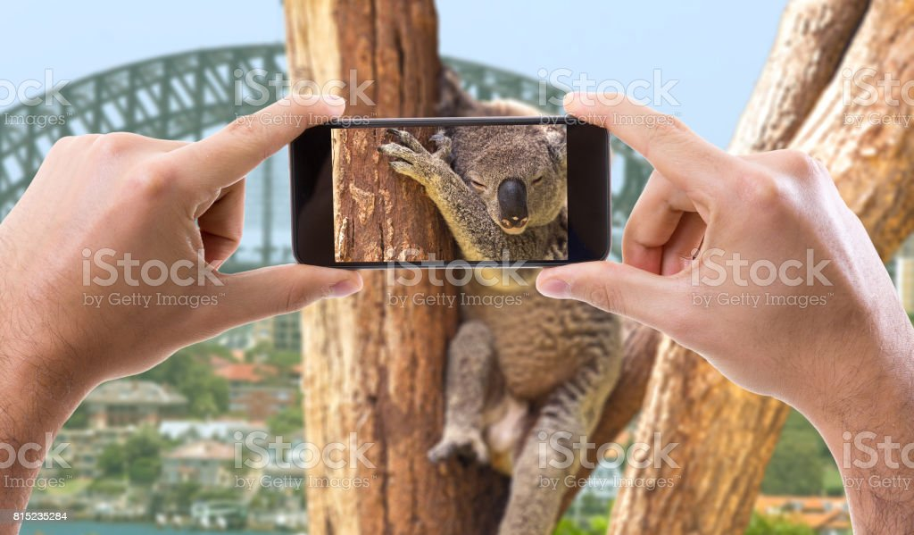 Taking Photo with Cell Phone o a Koala in Australia stock photo