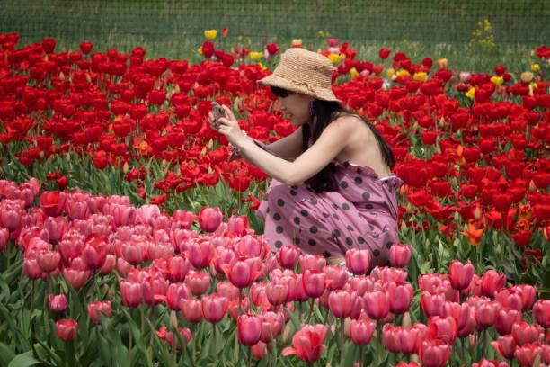 Taking photos of the tulips in full bloom stock photo