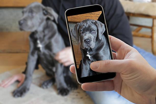 Taking picture of italian cane corso dog stock photo
