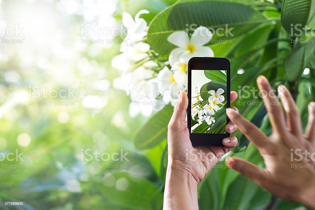 Taking pictures white flower with mobile smart phone i