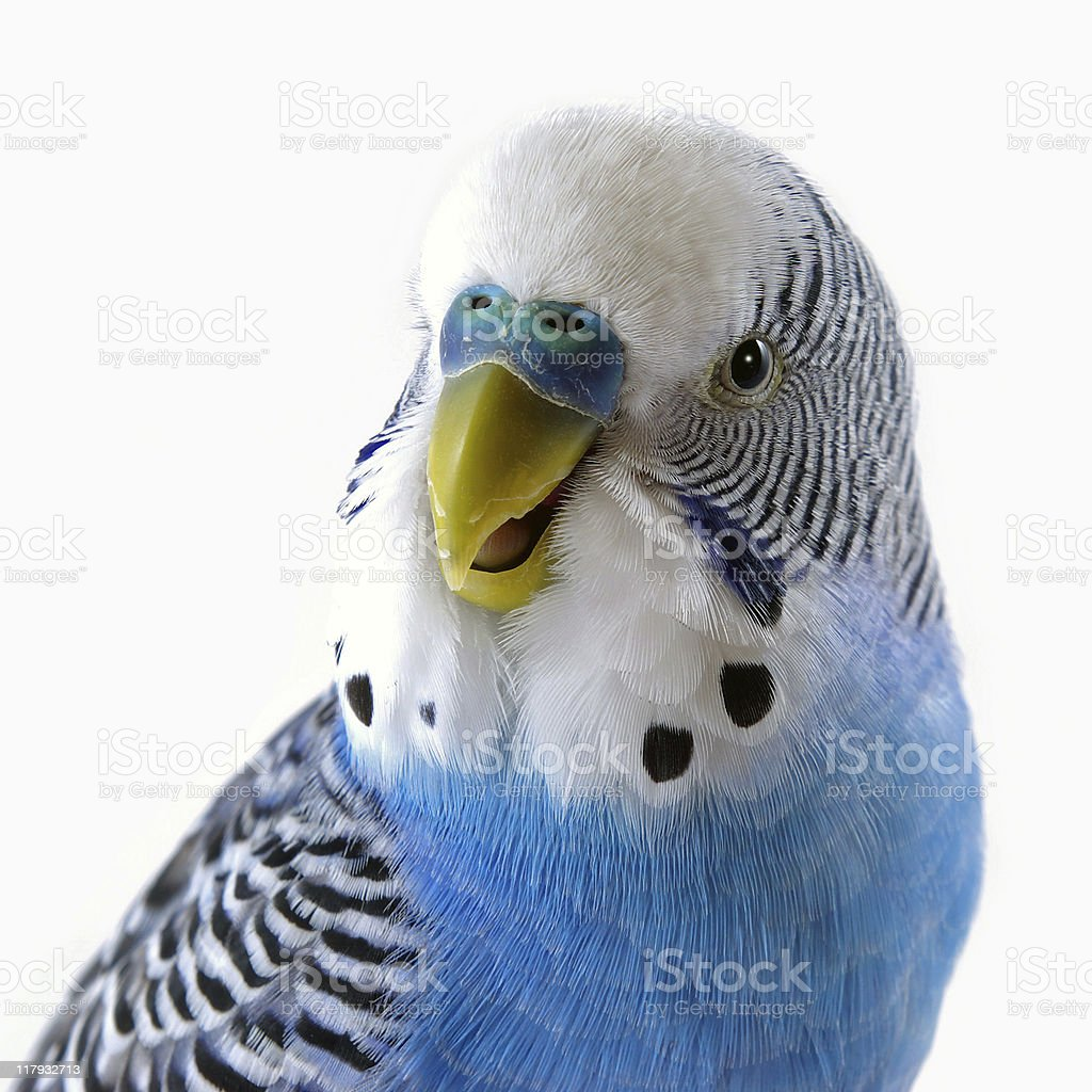 Talking blue wavy parrot. The Portrait. royalty-free stock photo