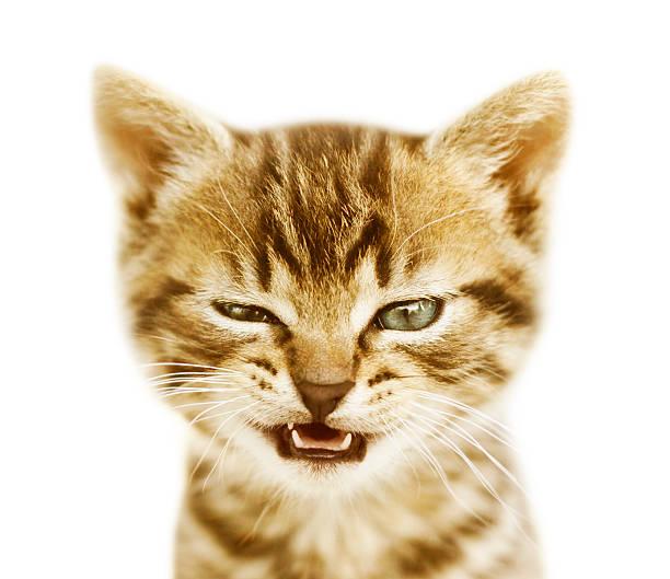 Talking kitten on white background picture id502702701?b=1&k=6&m=502702701&s=612x612&w=0&h=x srf 07kllgbvapsyrnx9jkdoswdh monzsq6gjvti=