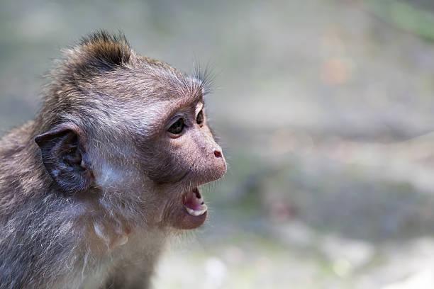 Talking Monkey stock photo