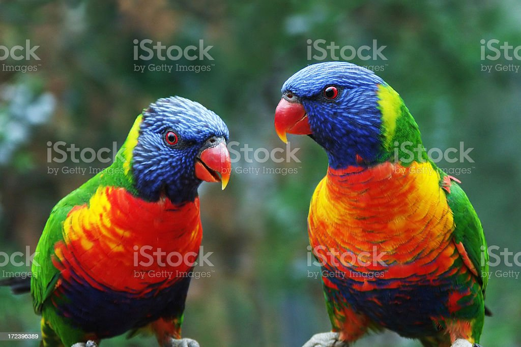 Talking Parrots stock photo