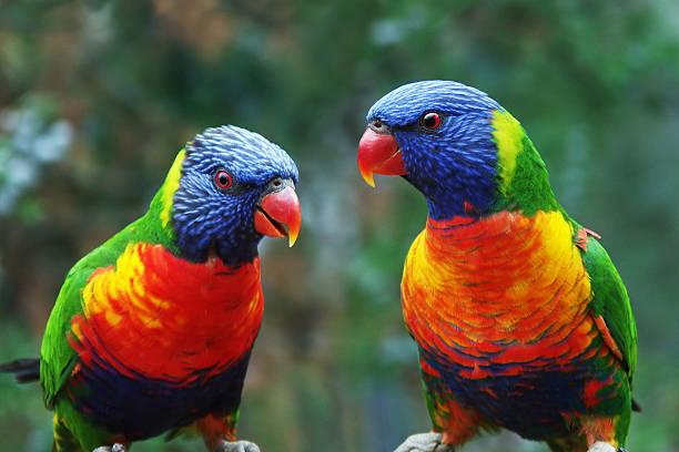 Talking Parrots stock photo
