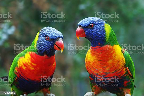 Talking Parrots Stock Photo - Download Image Now