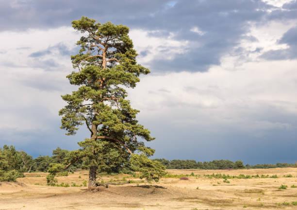 lång och vacker tall, stående på en sanddyn i hoge veluwe, en nationalpark i holland-nederländerna. - fur bildbanksfoton och bilder