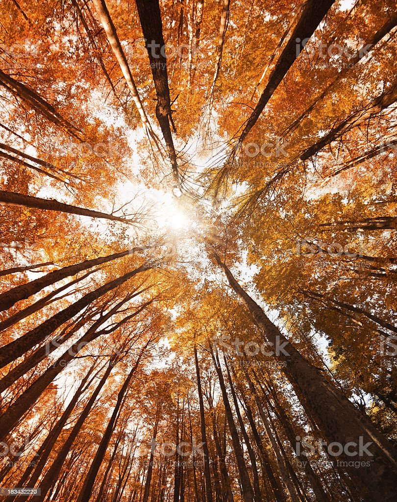 Tall Autumn Trees inside the forest royalty-free stock photo