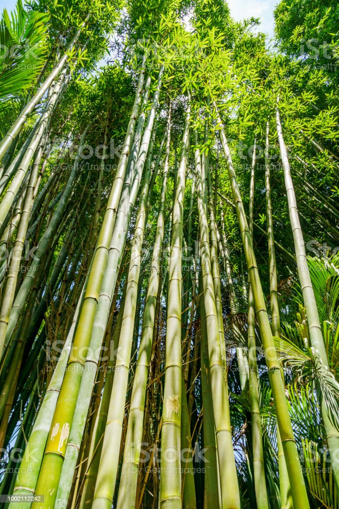 Tall bamboo shoots stock photo
