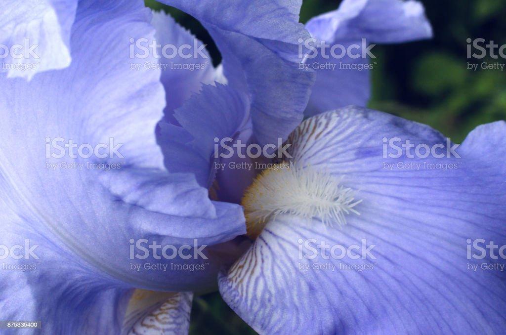 Tall BeardedIris - German Iris stock photo