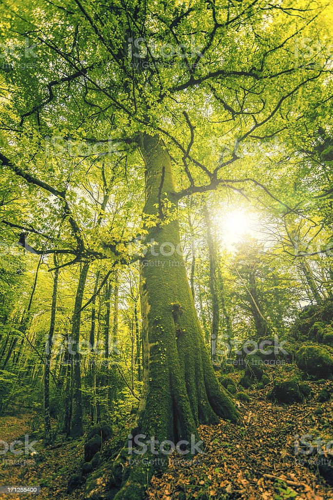 Tall Beech Tree in the Forest stock photo