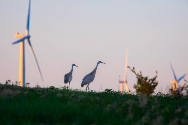 Tall blue heron birds walking among giant wind turbines. stock photo