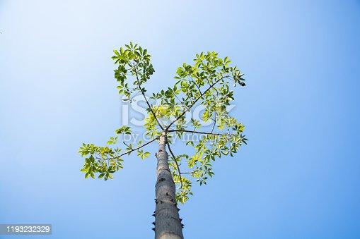 Bobax tree with blue sky