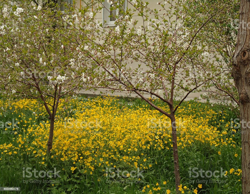 Tall buttercup. Masses of yellow flowers in spring. stock photo