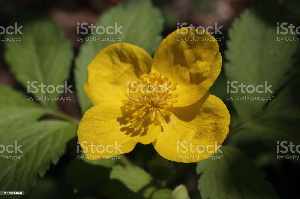 Tall buttercup royalty-free stock photo