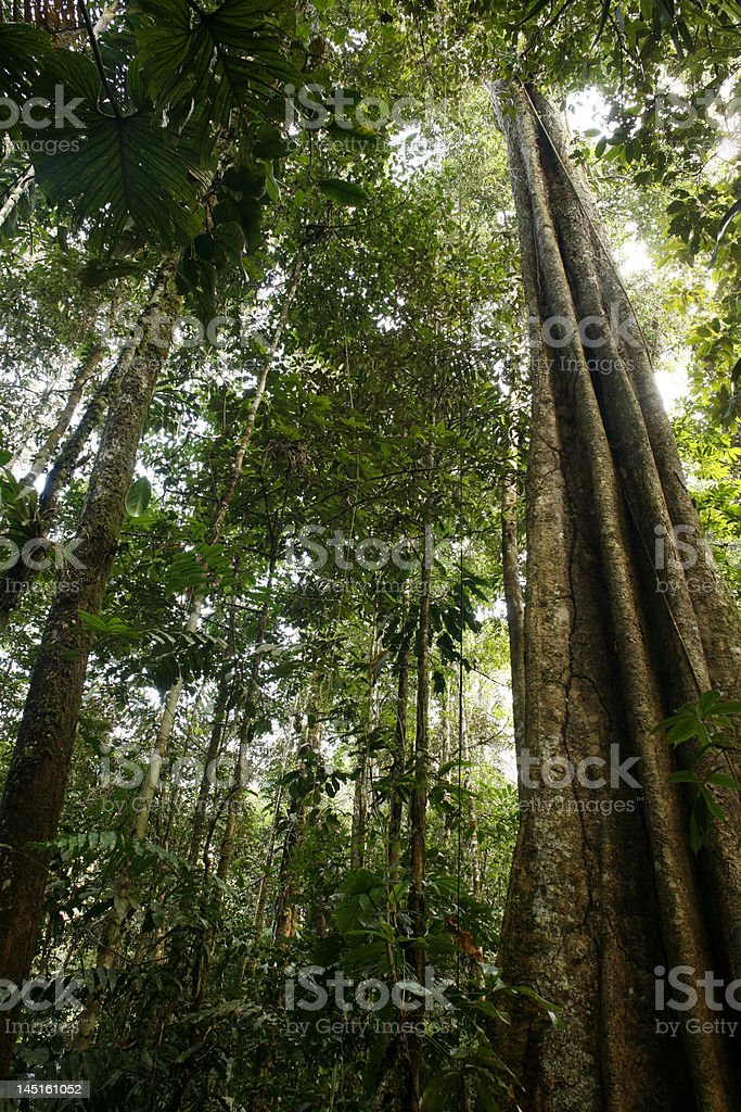 Tall buttressed tree in tropical rainforest stock photo