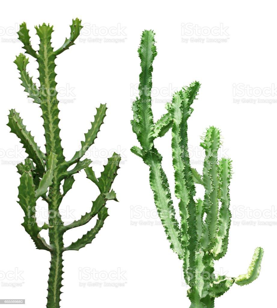Tall Cactus stock photo
