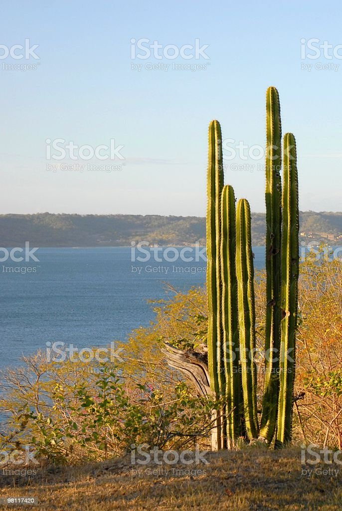 cactus alto foto stock royalty-free