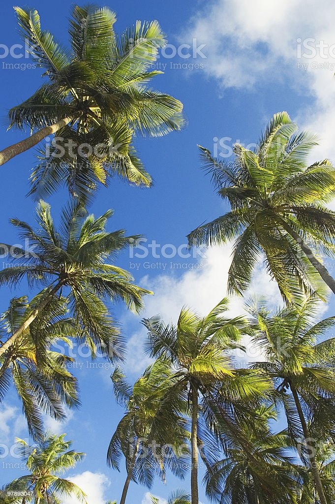 Tall Coconut Trees royalty-free stock photo