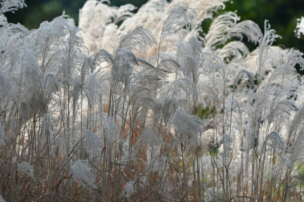 tall cream colored grass - steven harrie stock pictures, royalty-free photos & images
