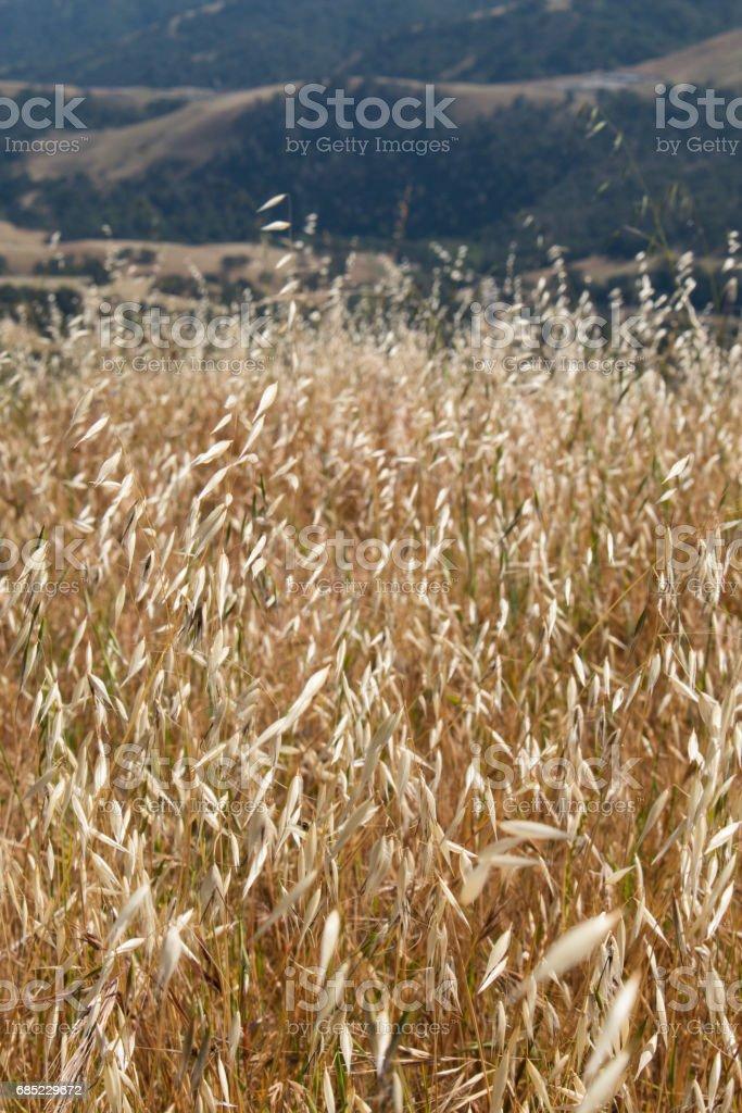 Tall dry grass field foto de stock royalty-free