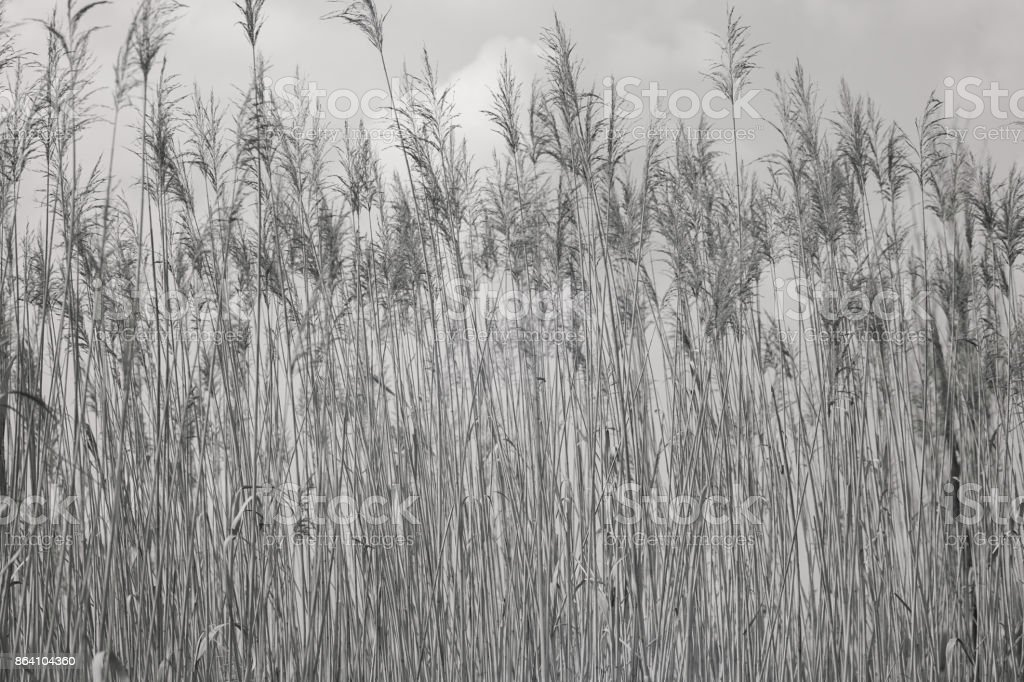 tall dry grass in autumn royalty-free stock photo