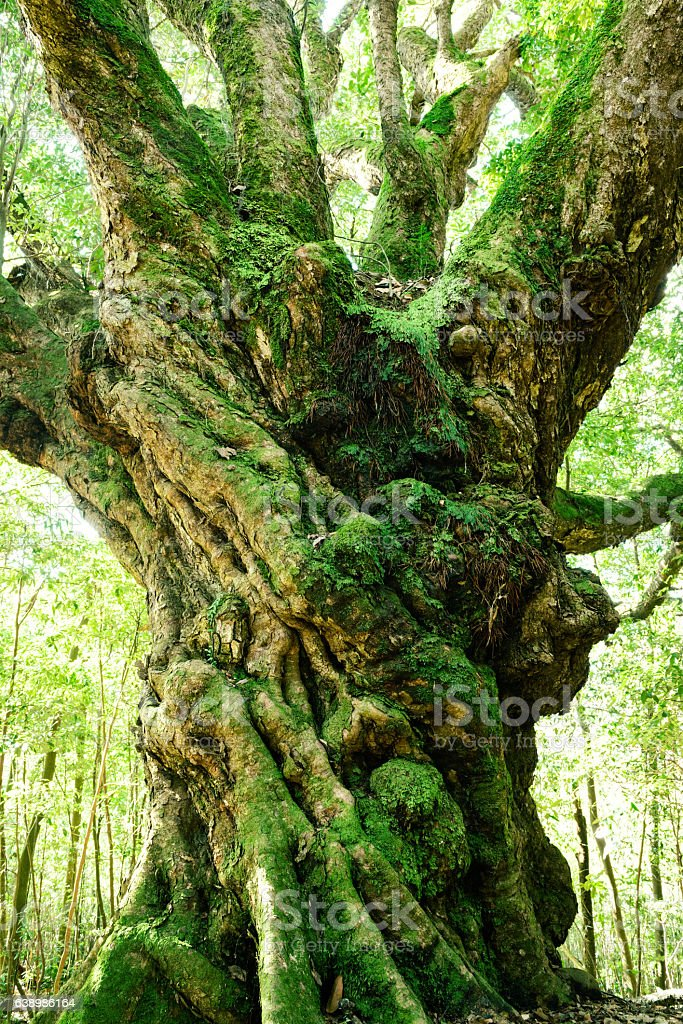 Tall evergreen oak tree stock photo