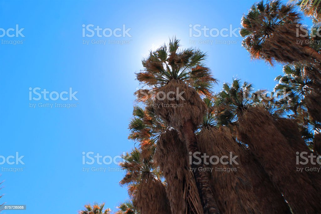 Tall Fan Palms in Desert Oasis stock photo