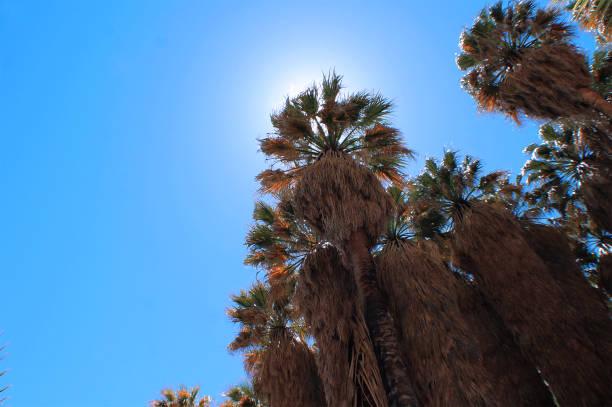 Tall Fan Palms in Desert Oasis stock photo