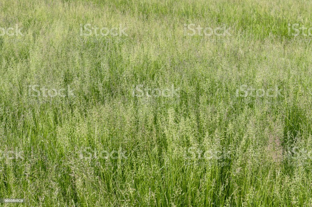 Tall fescue grass in seed green background cemetery as nature reserve stock photo