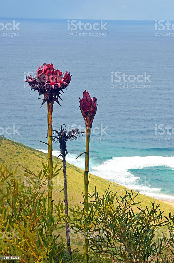 Tall flower spikes of the Gymea Lily (Doryanthes  excelsa) stock photo