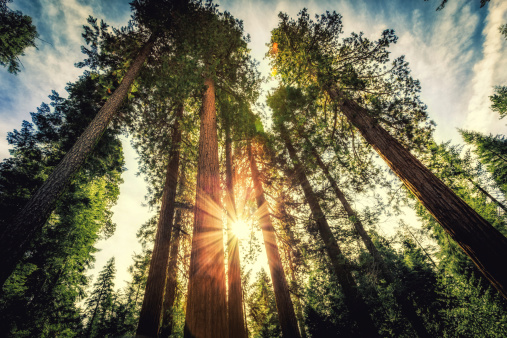 Tall Forest of Sequoias