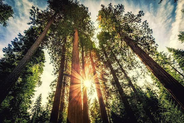 floresta de sequoias tall - alto descrição geral - fotografias e filmes do acervo